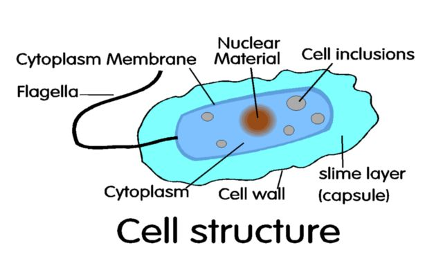 bacterial cell structure shown