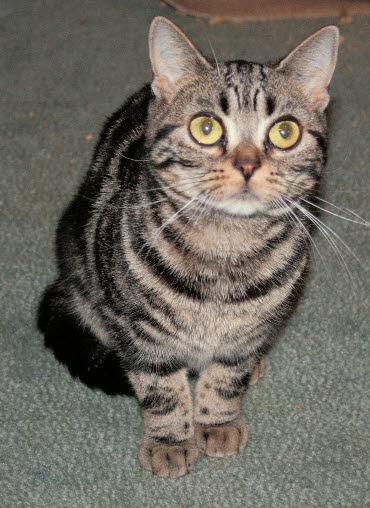 CROWN E HUSTLE, brown tabby female American Shorthair born 3/17/2007
