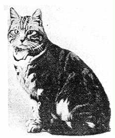 Ch. Jimmy - sold for 2,000 pounds at the turn of 1900, progenitor of the American Shorthair breed