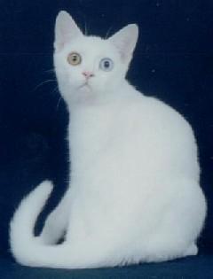 american shorthair white - photo #14