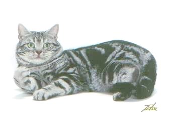 Ch. Crown E Fast Forward, silver tabby male - in picture - link to more information about him