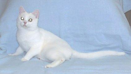 american shorthair white - photo #22